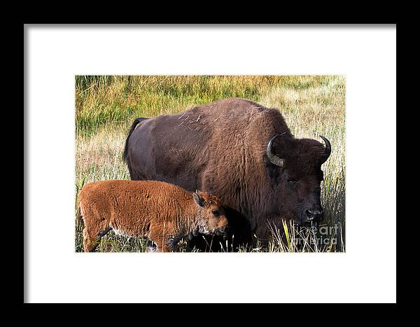 American Buffalo Framed Print featuring the photograph Mother And Calf by Sue Karski