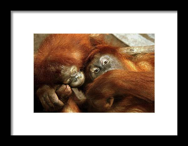 Monkey Framed Print featuring the photograph Mother And Child by Don Downer