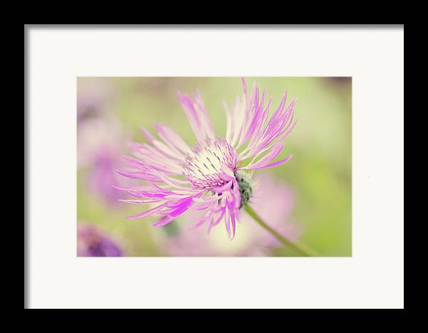 Horizontal Framed Print featuring the photograph Mountain Cornflower Pink by Leentje photography by Helaine Weide