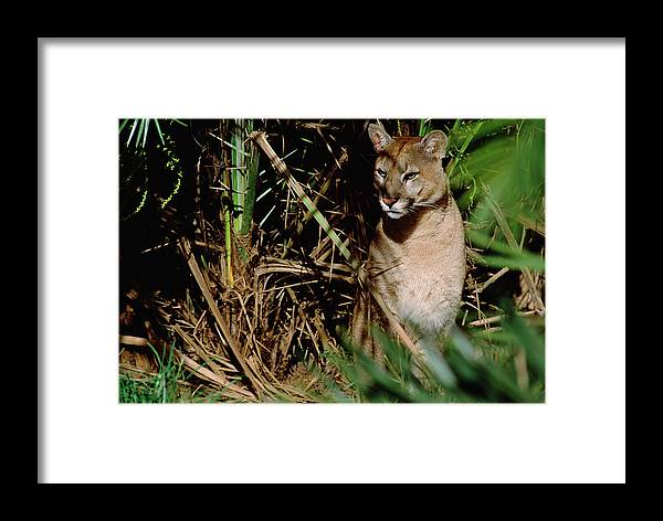 Mp Framed Print featuring the photograph Mountain Lion Puma Concolor Portrait by Claus Meyer