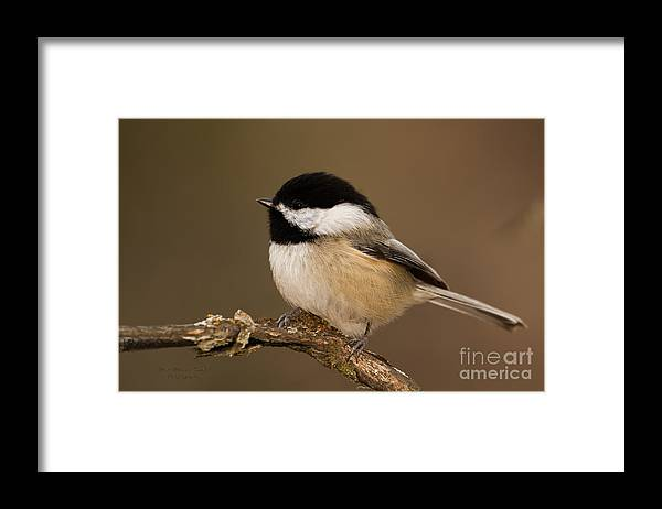 Chickadee Framed Print featuring the photograph Mr Adorable by Beve Brown-Clark Photography
