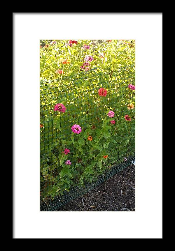 Zinnias Framed Print featuring the photograph Multi-colored Flowers by Thelma Harcum