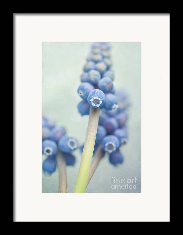 Grape Hyacinths Framed Print featuring the photograph Muscari by Priska Wettstein
