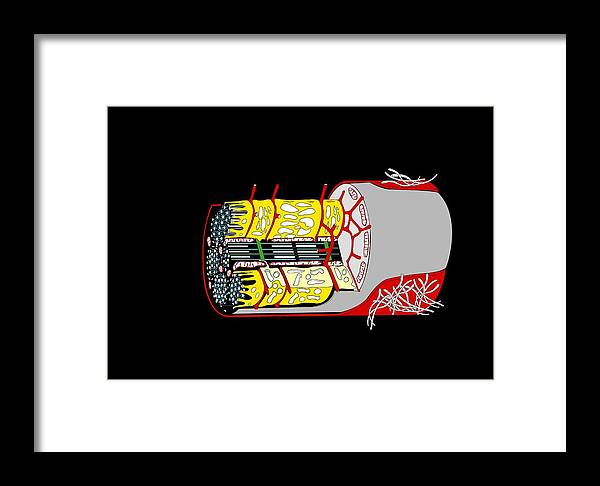 Muscle Cell Framed Print featuring the photograph Muscle Cell Anatomy, Artwork by Francis Leroy, Biocosmos