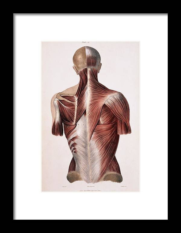 Back Framed Print featuring the photograph Muscles Of The Back by Sheila Terry