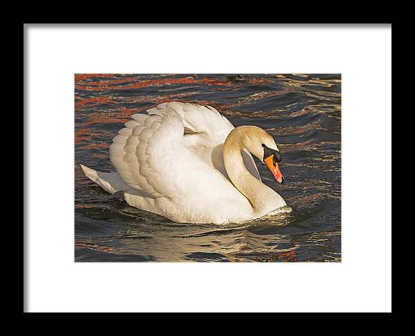 Swan Framed Print featuring the photograph Mute Swan by Paul Scoullar