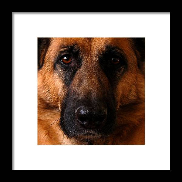 German Shepherds Dogs Framed Print featuring the photograph My Forrest by Angie Tirado
