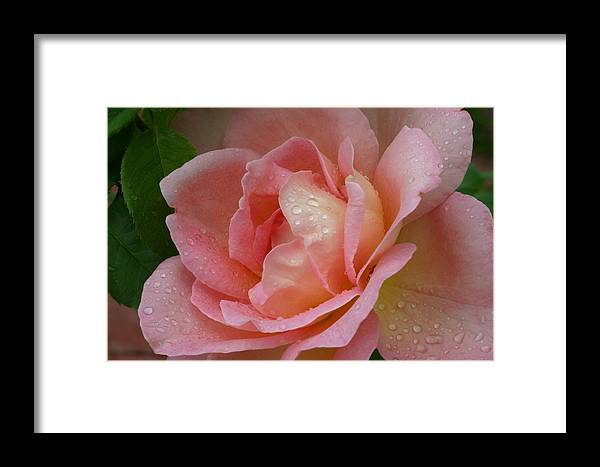 Flowers Framed Print featuring the photograph My Pink Rose by Connie Koehler