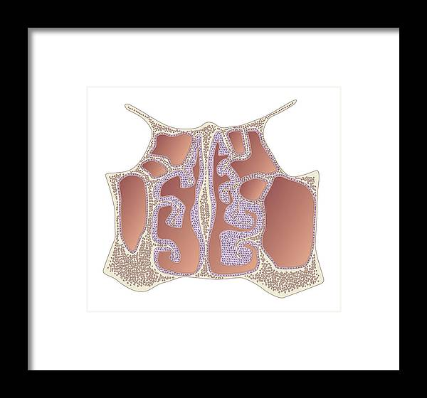 Sinus Framed Print featuring the photograph Nasal Cavity And Sinuses, Artwork by Peter Gardiner