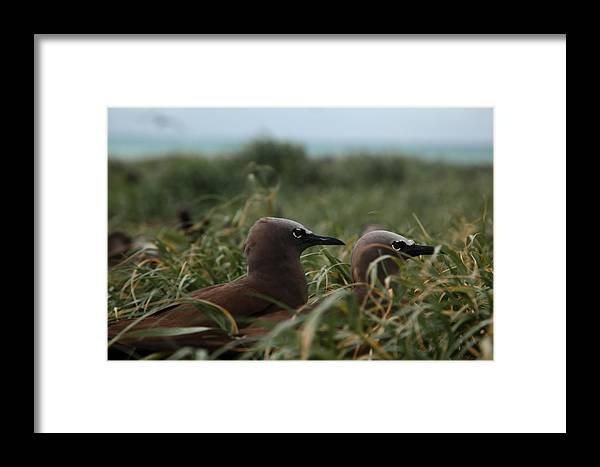 Birds Framed Print featuring the photograph Nesting On Michaelmas Cay by Carole Hinding