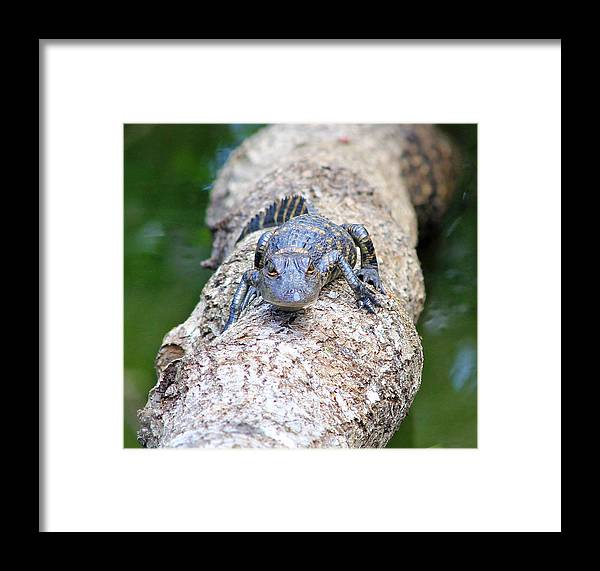 American Alligator Framed Print featuring the photograph Newborn by Wild Expressions Photography