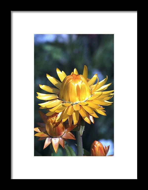Plants Framed Print featuring the photograph Nice Corolla by Patrick Kessler