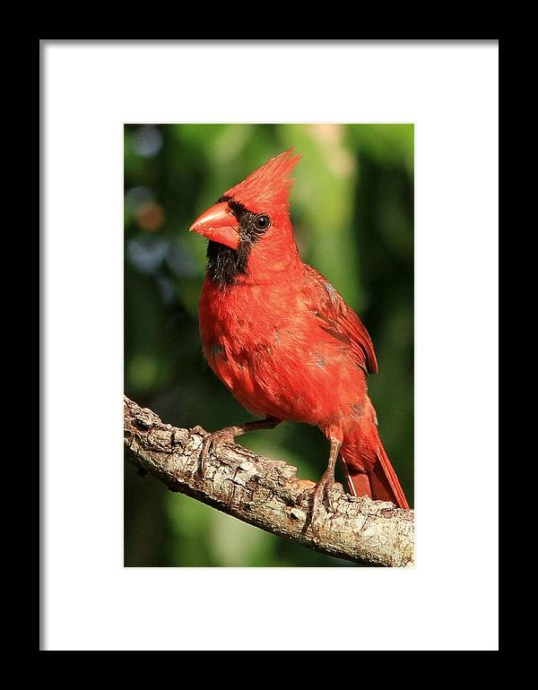 Animal Framed Print featuring the photograph Northern Cardinal by Ira Runyan