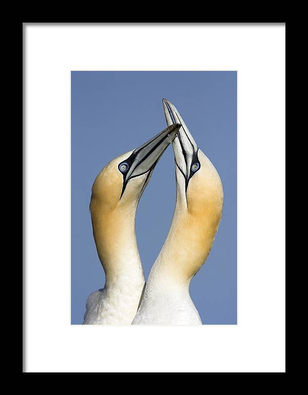 Fn Framed Print featuring the photograph Northern Gannet Morus Bassanus Pair by Jasper Doest
