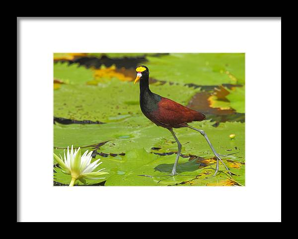 Northern Jacana Framed Print featuring the photograph Northern Jacana by Andrew McInnes