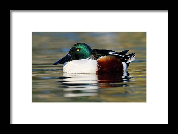 Mp Framed Print featuring the photograph Northern Shoveler Anas Clypeata Male by Jasper Doest