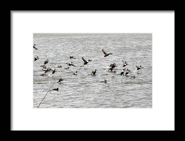 Lower Klamath Framed Print featuring the photograph Northern Shoveler Duck - 0006 by S and S Photo