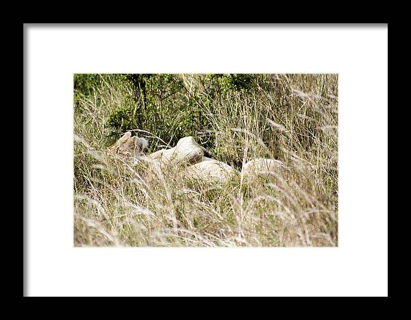 Lion Framed Print featuring the photograph Not A Care In The World by John Hebb