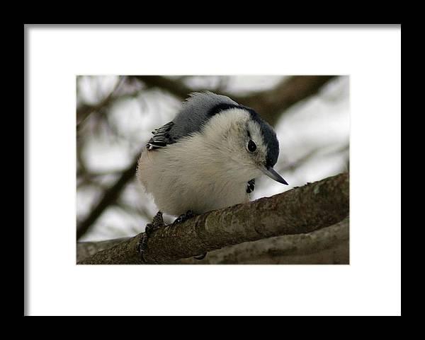Nuthatch Framed Print featuring the photograph Nuthatch I by Joe Faherty