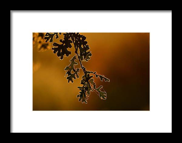 Oak Framed Print featuring the photograph Oak Leaves by Rima Biswas