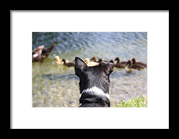 Dogs Framed Print featuring the photograph Oh He Wants To Play With Ducks by Andrea OConnell