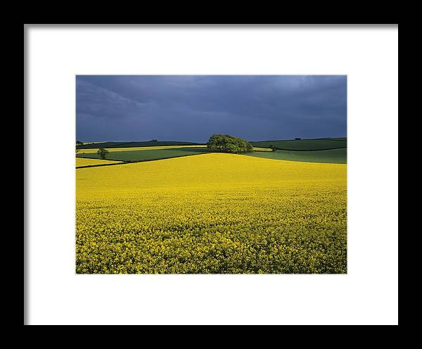 Oilseed Rape Framed Print featuring the photograph Oilseed Rape Crop (brassica Napus) by Adrian Bicker