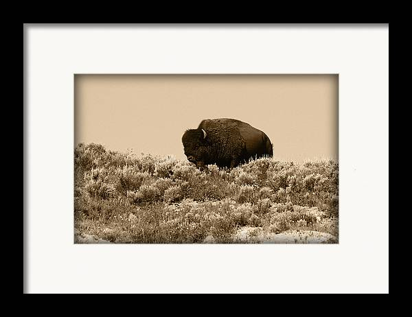 Buffalo Framed Print featuring the photograph Old Timer by Shane Bechler