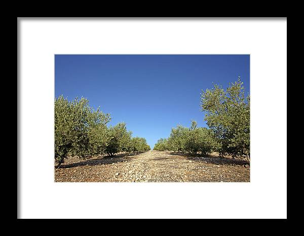 Olea Europea Framed Print featuring the photograph Olive Grove by Carlos Dominguez