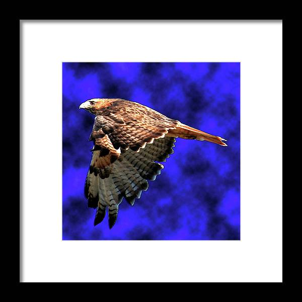 Hawk Framed Print featuring the photograph On A Mission by Randy Thompson