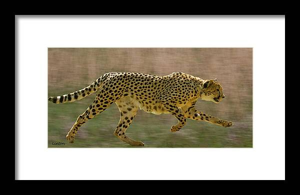 Cheetah Framed Print featuring the photograph On The Hunt 3 by Larry Linton
