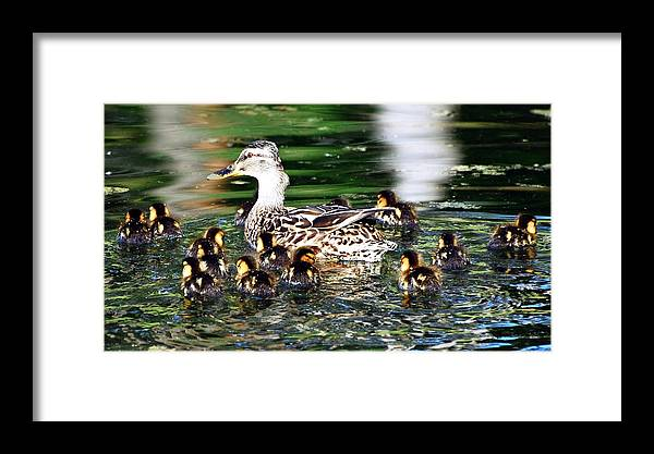 Duck Framed Print featuring the photograph One Two Three..... by Don Mann