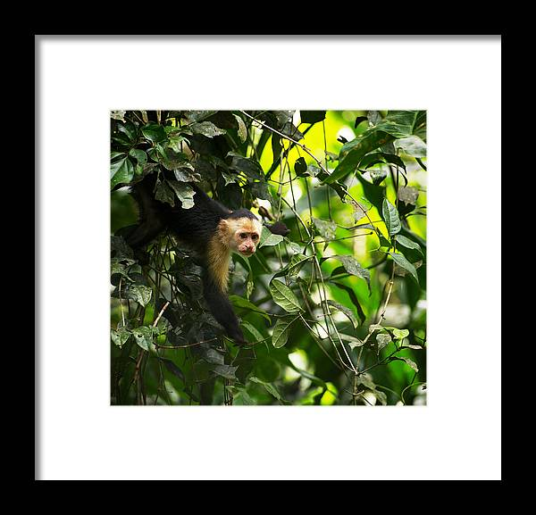 Monkey Framed Print featuring the photograph Ops.. by Simone Pastore
