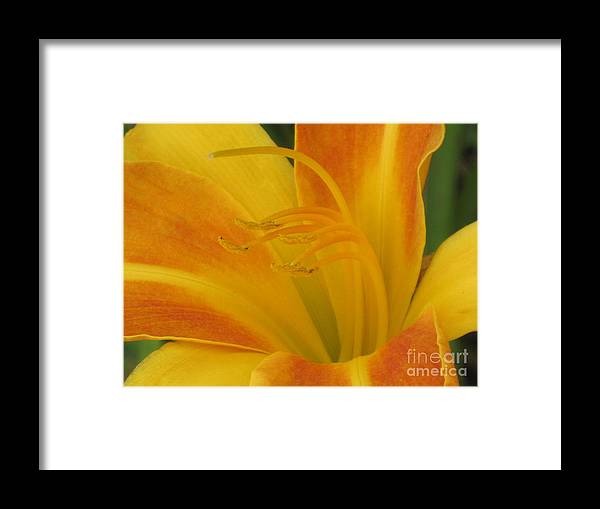 Flowers Framed Print featuring the photograph Orange And Gold Day Lillies. by Barbara Milhender