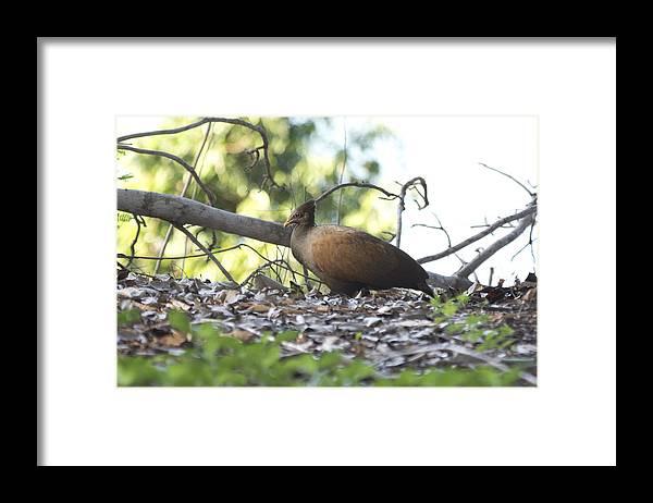 Orange Footed Scrub Fowl Framed Print featuring the photograph Orange Footed Scrub Fowl by Douglas Barnard
