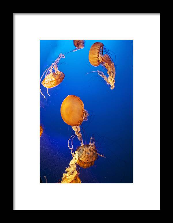 Jellyfish Framed Print featuring the photograph Orange Jellies by Diana Cox
