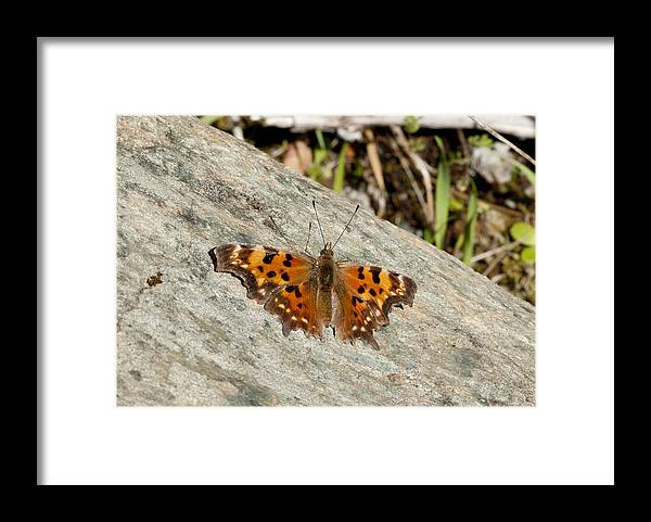Moth Framed Print featuring the photograph Orange Moth by Betty Depee