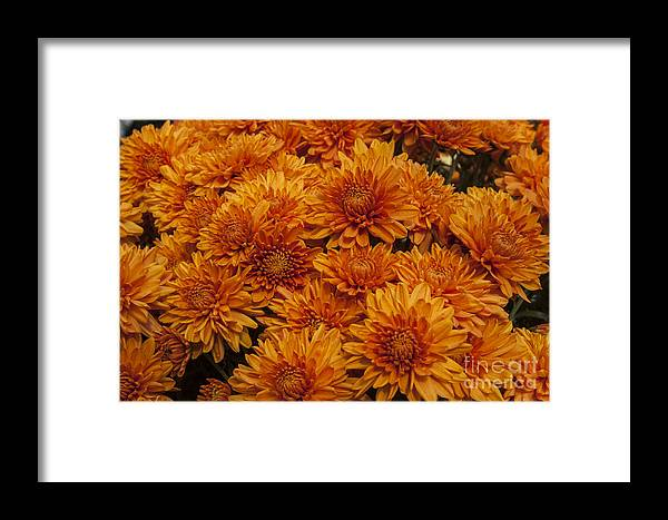 Mums Mum Framed Print featuring the photograph Orange Mums by Darleen Stry