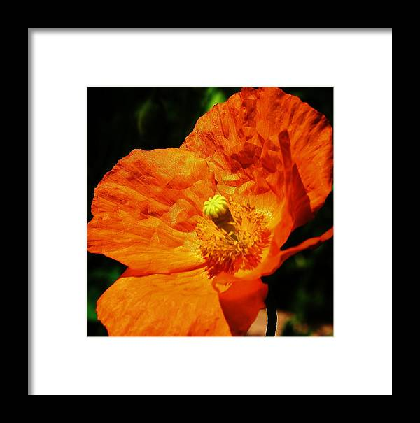 Flora Framed Print featuring the photograph Orange Poppy by Bruce Bley