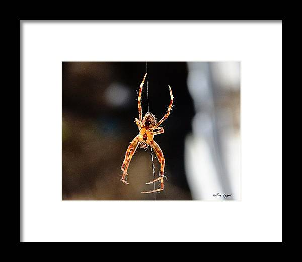 Spider Framed Print featuring the photograph Orange Spider by Chriss Pagani