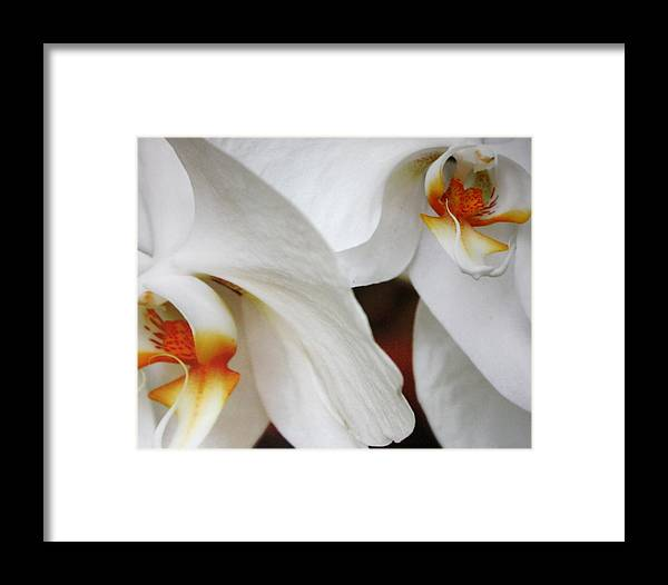 Phahaleonpsis Orchid Framed Print featuring the photograph Orchid Beauty by LC Linda Scott