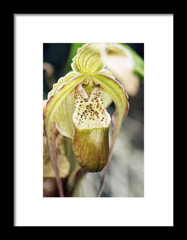 Orchid Framed Print featuring the photograph Orchid (pharmipedium Sp.) by Maria Mosolova