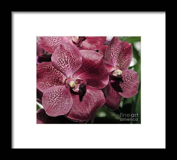 Flower Framed Print featuring the photograph Orchid Vanda And Ascocenda Hybrid II by Terri Winkler