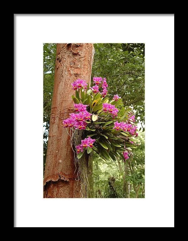Orchids Framed Print featuring the photograph Orchids On Tree by Kathy Schumann