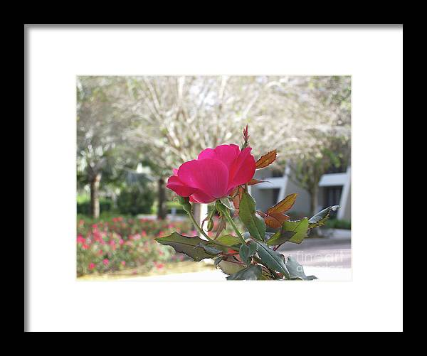 Framed Print featuring the photograph Orlando Rose by Jane Whyte