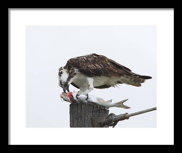 Framed Print featuring the photograph Osprey-1 by Ruhikanta Meetei