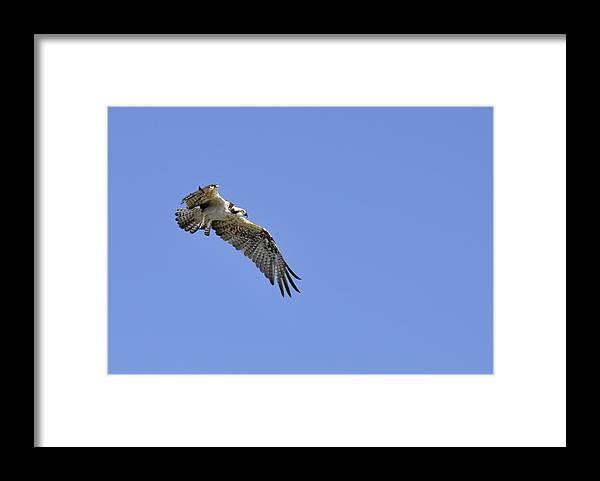 Osprey Framed Print featuring the photograph Osprey in Flight by Christine Stonebridge