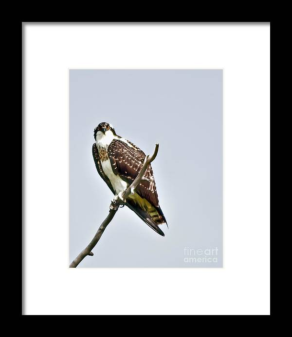 Osprey Framed Print featuring the photograph Osprey by Robert Bales