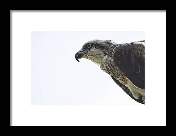 Osprey Framed Print featuring the photograph Osprey Top-End Australia by Douglas Barnard