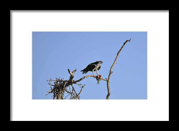Osprey Framed Print featuring the photograph Osprey with Catch I by Christine Stonebridge