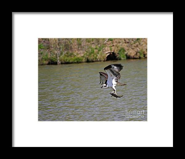 Ospret Framed Print featuring the photograph Osprey With Catch by Wayne Johnson